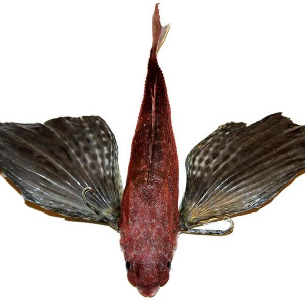 pez volador.jpg