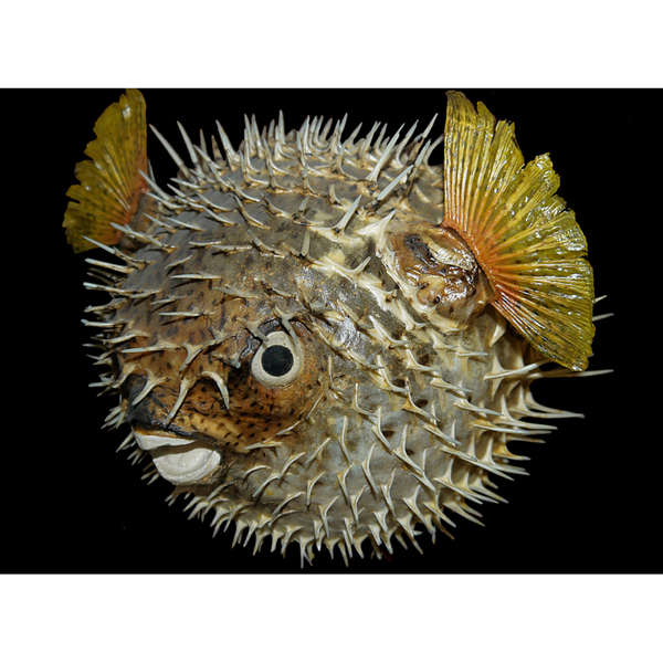 pez globo.jpg